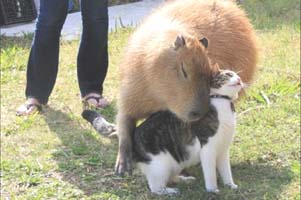 "A Capybara is a 250 pound rodent, but it is very gentle and wise, with very cute whiskers and strawlike fur and black button eyes. It makes gentle ""tweatle tweatle"" sounds when amused."