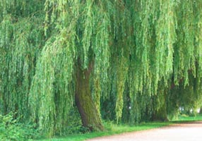 When I was young, children would snap off weeping willow vines and whip each other playfully with them. We each got pleasure in others pain, a teachable moment that help prepare us for adult life.